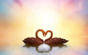 Swans Love Heart